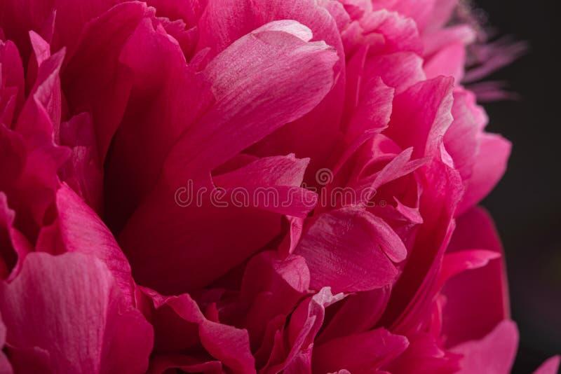 Petali rossi del fiore della peonia nella macro della fioritura ancora immagini stock