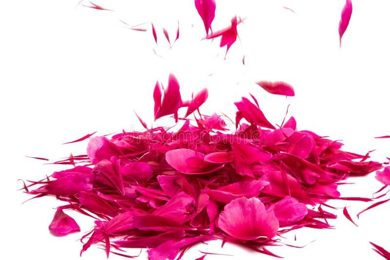petali rossi della peonia isolati immagine stock