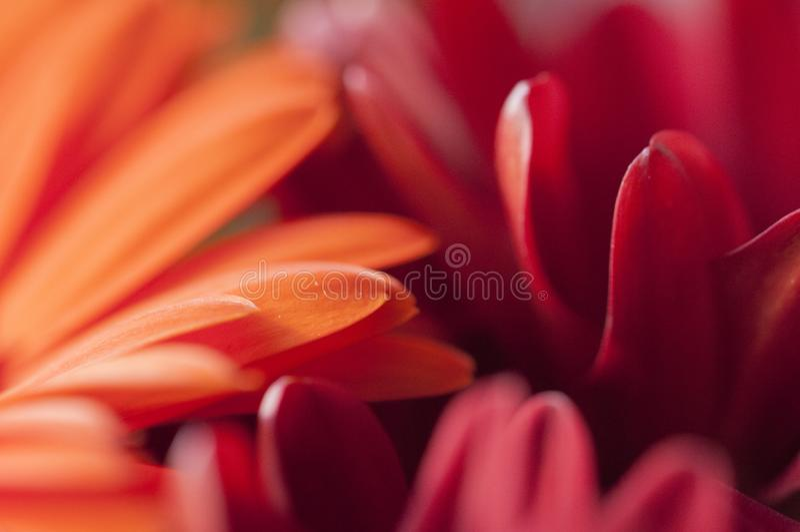 Petali rossi ed arancio fotografia stock