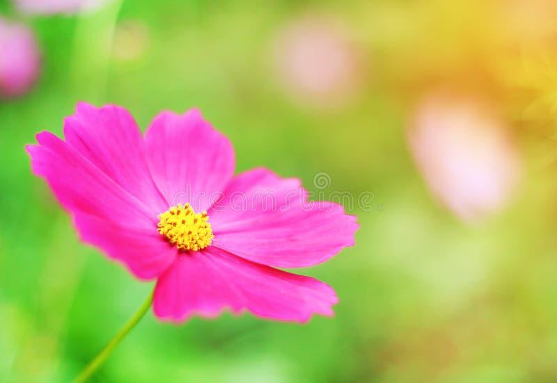 Petalo rosa dei fiori variopinti dell'universo o aster messicano con i modelli gialli del polline che fioriscono nel fondo del gi fotografia stock