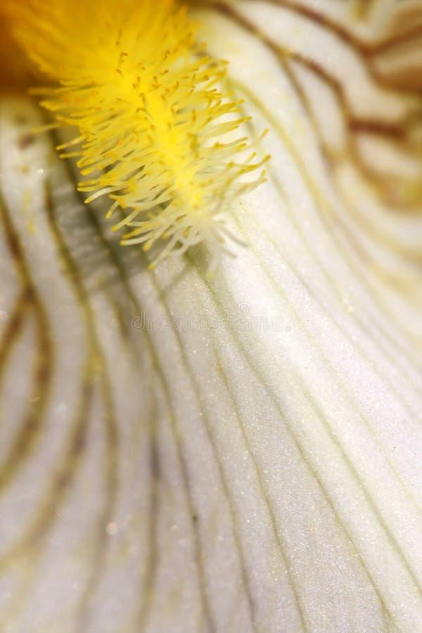 Petalo veiny giallo del giglio immagine stock