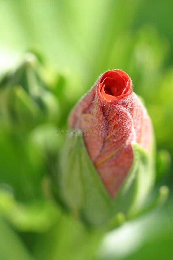 petalrynka arkivbild