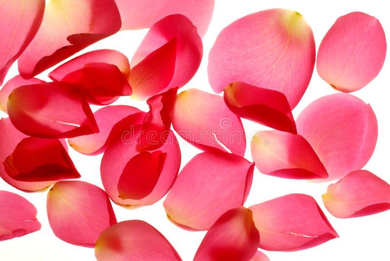 petals royaltyfri bild