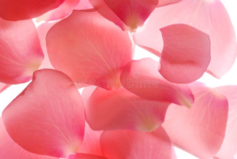 petals royaltyfria bilder