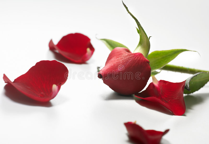 Download Petals stock photo. Image of lovely, flora, gift, unique - 4696978