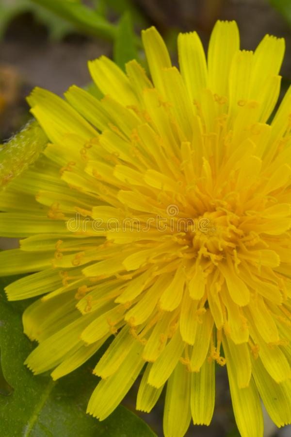 The petals of a dandelion. On a background of vegetation stock photo