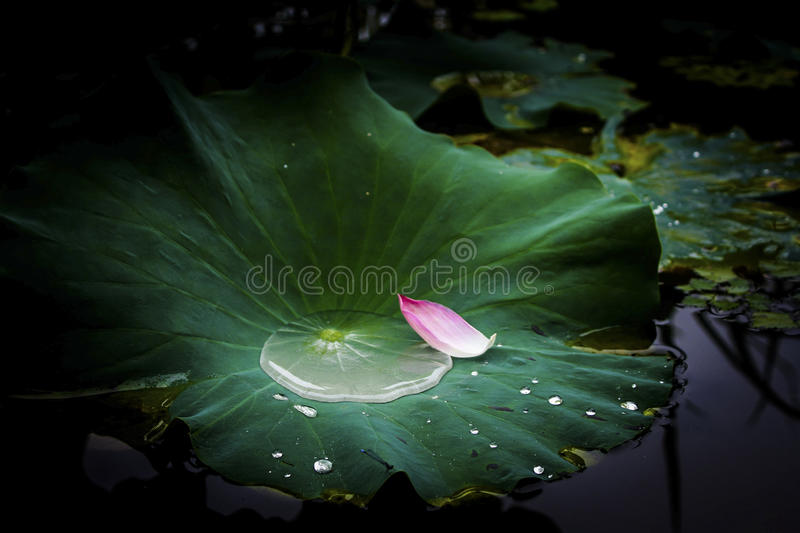 Petals on the lotus leaf royalty free stock images