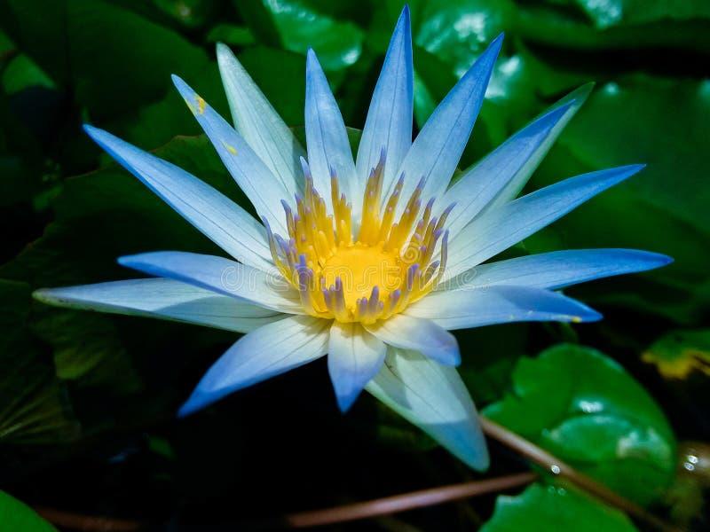Lotus. Petals pale blue lotus. Taken in honghu park, shenzhen stock photography