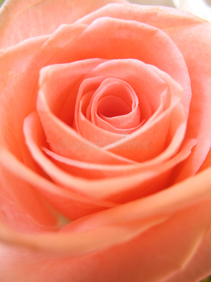 Petals of a Pink Rose royalty free stock images