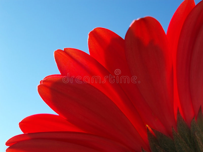 Petals from red gerbera royalty free stock photography