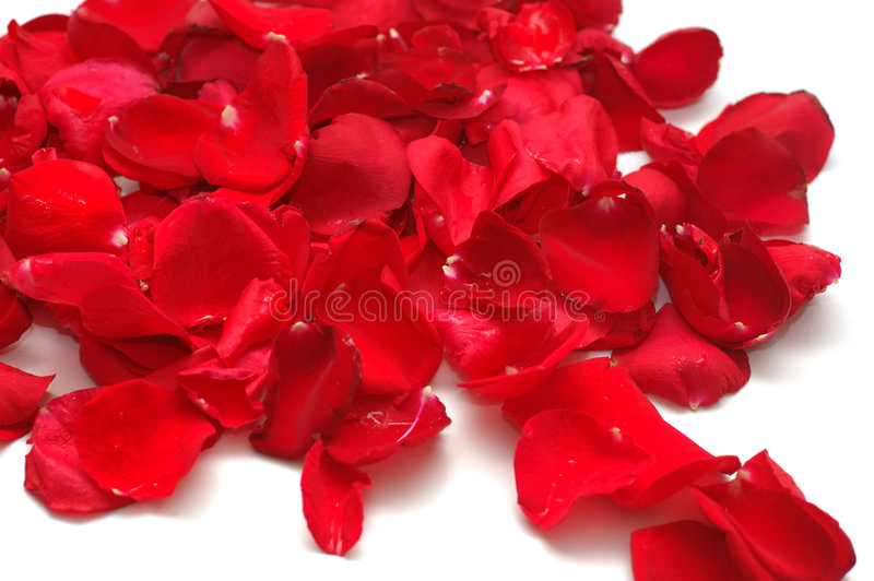 Petals of red roses on white background