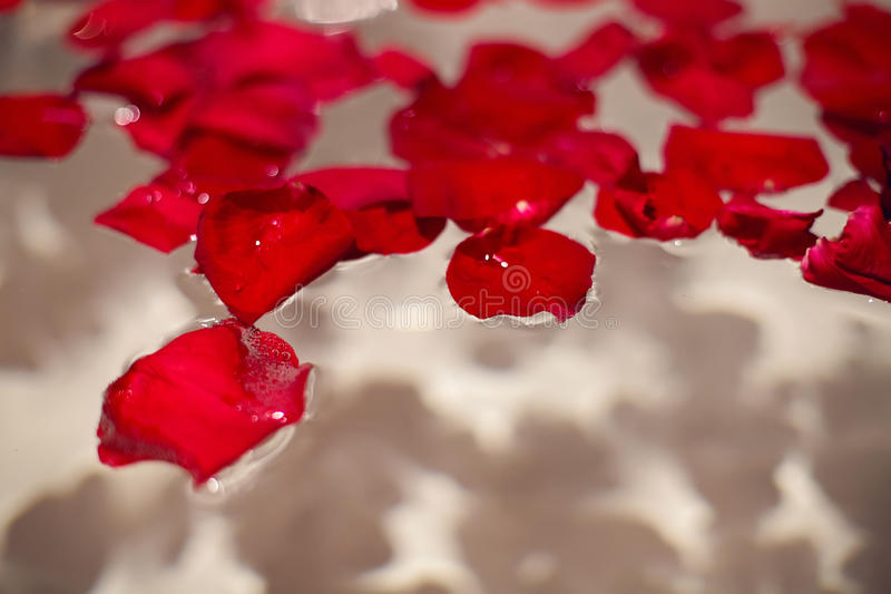 Petals of red roses in a white bathroom with black tiles stock image