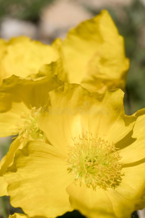 Petals and stamens bloom in the summer. royalty free stock photo
