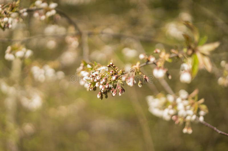 Petals on a tree in spring royalty free stock photo