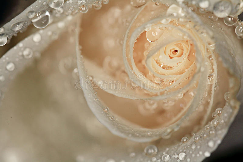 Petals white rose with water drops royalty free stock photos