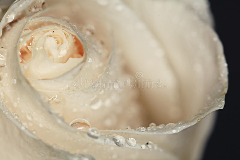 Petals white rose with water drops royalty free stock photo