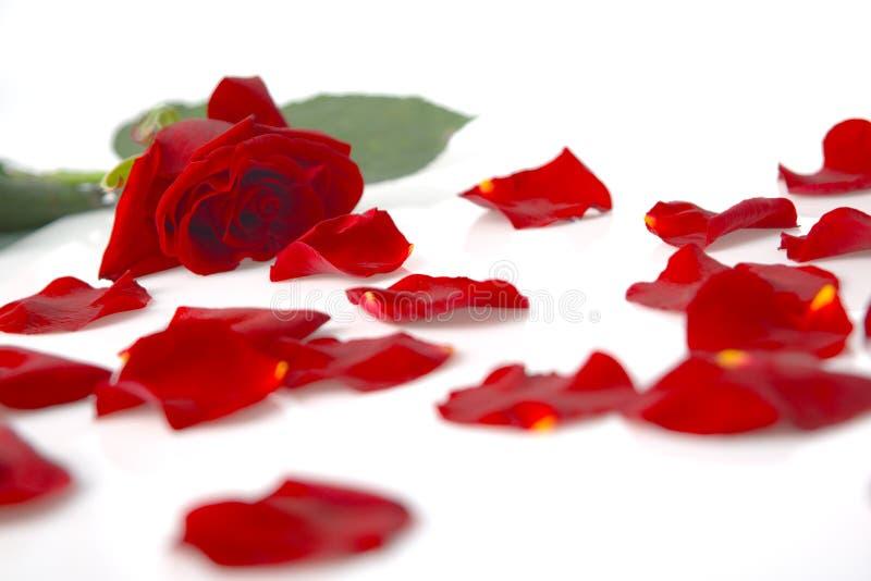 petalsred steg royaltyfria foton