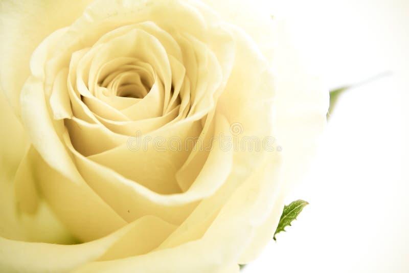 petalsrosewhite royaltyfria bilder