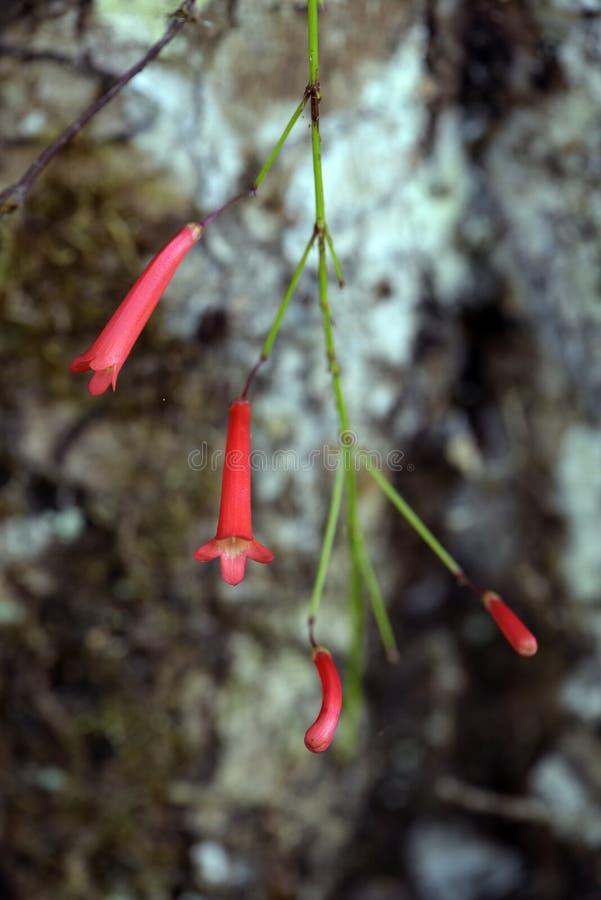 Petardy roślina w kwiacie zdjęcia royalty free