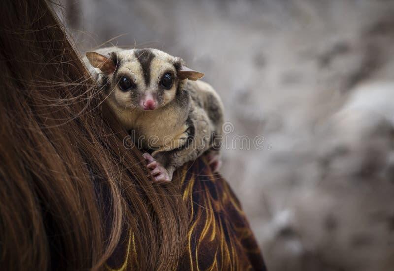 Petaurus Breviceps 图库摄影