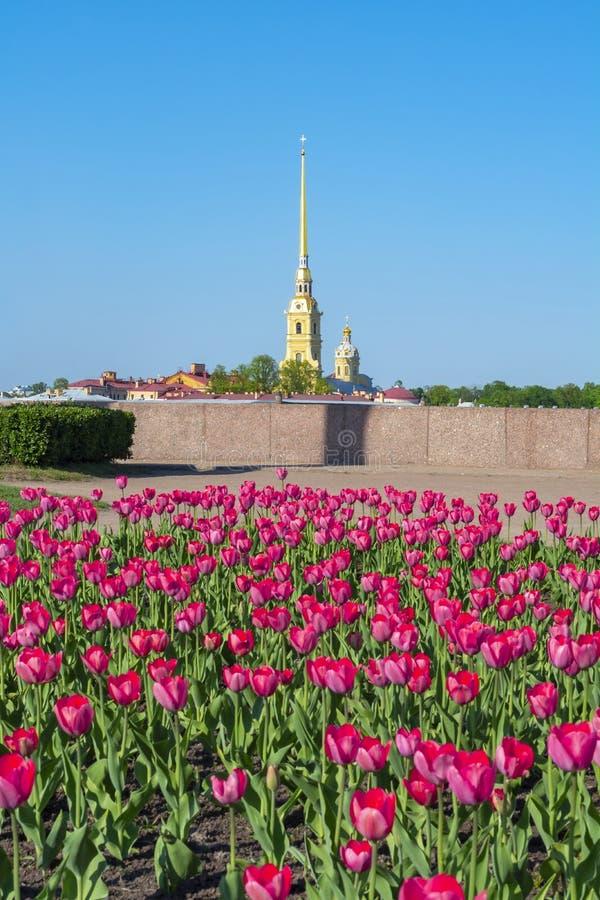 Peter και καθεδρικών ναών και άνοιξη του Paul τουλίπες, Αγία Πετρούπολη, Ρωσία στοκ εικόνα με δικαίωμα ελεύθερης χρήσης