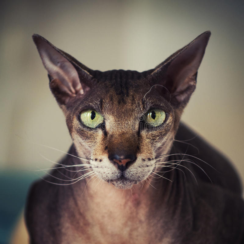 Peterbald cat face royalty free stock photography