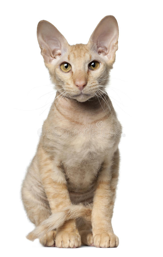 Download Peterbald Cat, In Front Of White Background Royalty Free Stock Photography - Image: 22629447