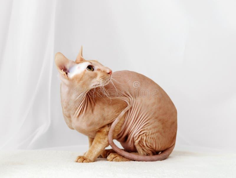 Peterbald cat, Oriental Shorthair stock photography