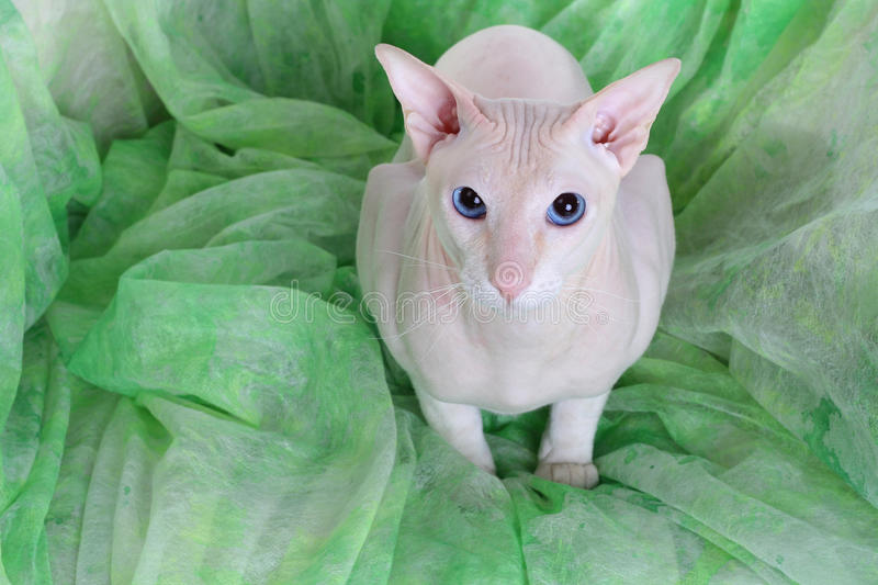 Download Peterbald hairless cat stock photo. Image of pets, male - 12127574