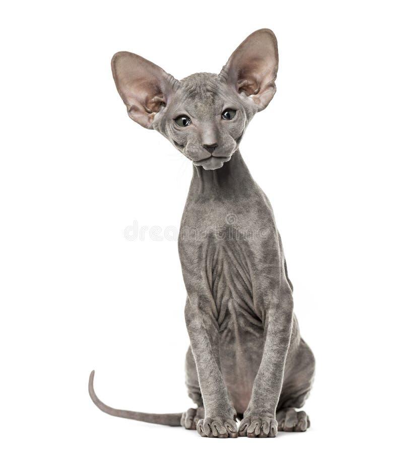 Peterbald-Kätzchen, das er Kamera, Katze, sitzend betrachtet lizenzfreie stockbilder