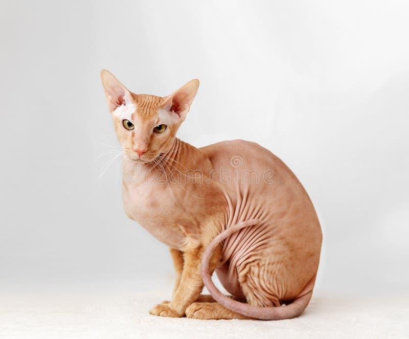 Peterbald katt, orientaliska Shorthair arkivfoton