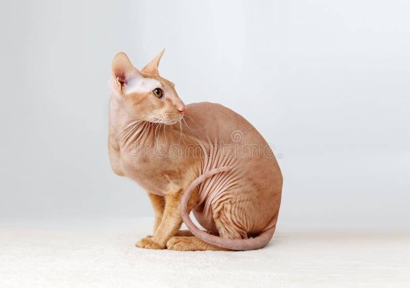 Peterbald katt, orientaliska Shorthair royaltyfria bilder