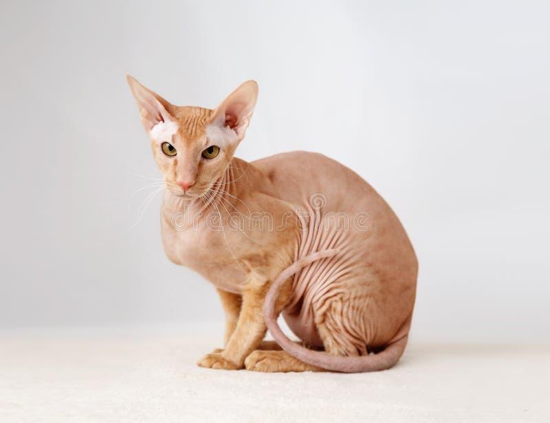 Peterbald katt, orientaliska Shorthair royaltyfri foto