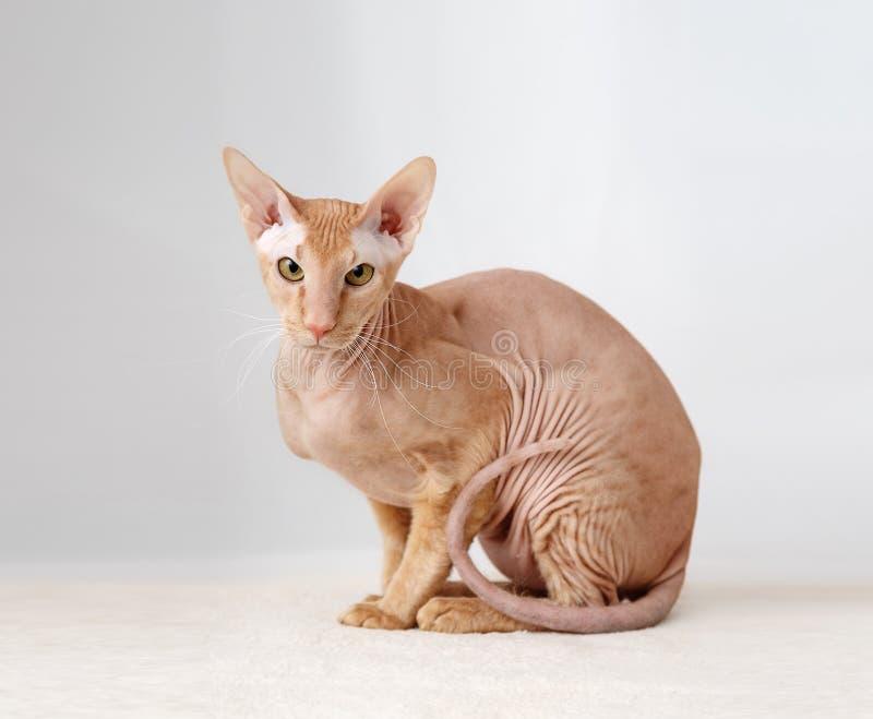 Peterbald katt, orientaliska Shorthair arkivbild