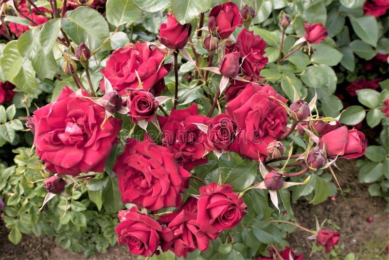 Petergof, Rússia, em julho de 2019 Um arbusto de rosas vermelhas de florescência em um close-up do gramado imagem de stock royalty free