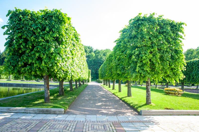 Peterhof, ΑΓΙΟΣ ΠΕΤΡΟΥΠΟΛΗ, ΡΩΣΙΑ - 6 ΙΟΥΝΊΟΥ 2019: Καλλιεργημένες ορθογώνιες αλέες ασβέστη στον ανώτερο κήπο στοκ εικόνες