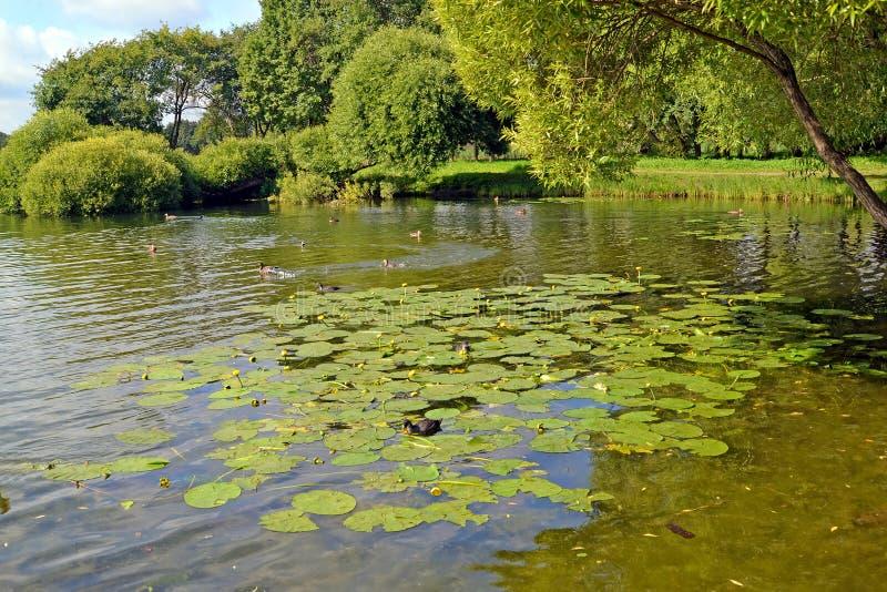 peterhof russia Ett vattenlandskap i sommardag Det Holguin dammet, Kolonistsky parkerar arkivbilder