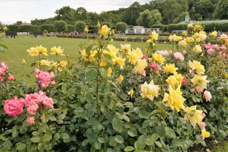 Peterhof, Russie, juillet 2019 Roses rouges et jaunes en parc images stock