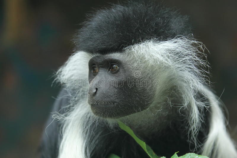 Peters's Angola colobus zdjęcia royalty free