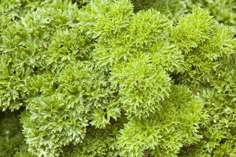 Petersilie-Kraut-Anlage (Petroselinum crispum) stockbilder