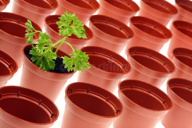 Petersilie und Flowerpots. stockbilder