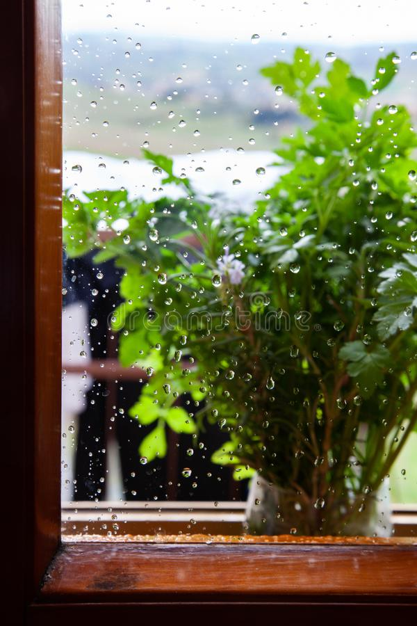 Petersilienanlage auf regnerischem Fensterbrett stockfoto