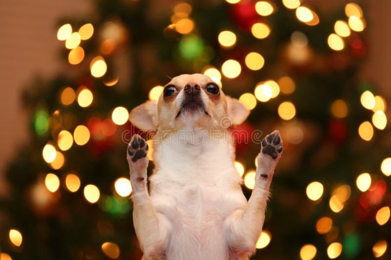 Petición de la chihuahua foto de archivo libre de regalías