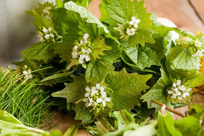 Petiolata van Alliaria van de knoflookmosterd - wilde eetbare installatie stock afbeeldingen