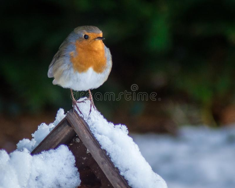 Petirrojo de la Navidad fotos de archivo libres de regalías