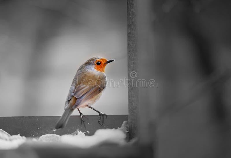 Petirrojo del europeo del pájaro foto de archivo libre de regalías