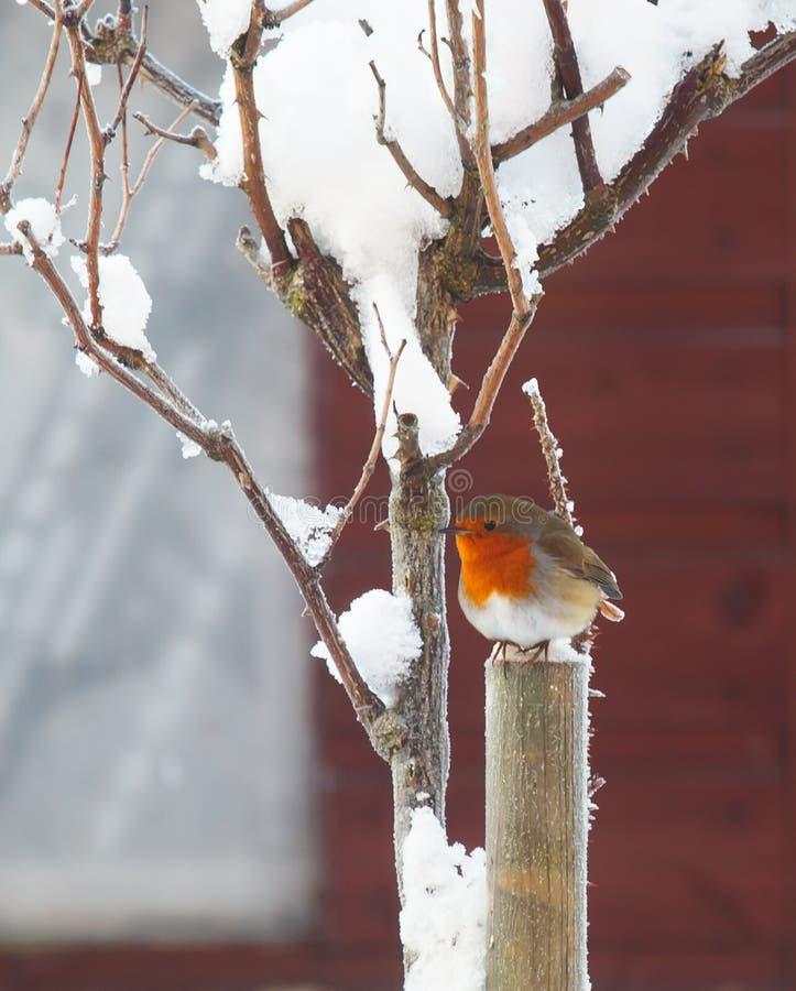 Petirrojo en árbol en nieve imagen de archivo