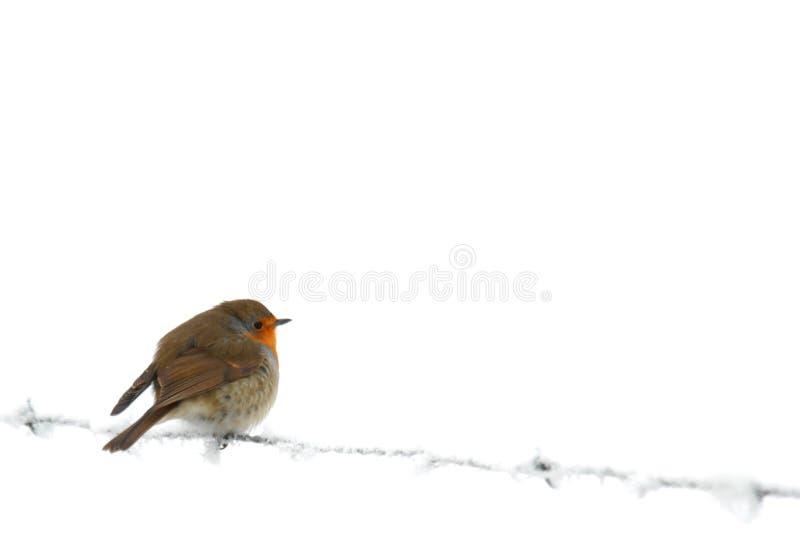 Petirrojo en el alambre de púas congelado foto de archivo