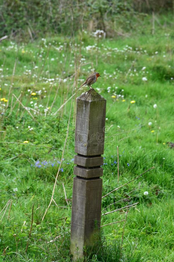 Petirrojo en el poste en reserva de la confianza de la fauna de Norfolk imagen de archivo