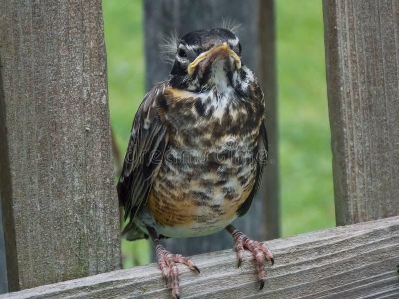 Petirrojo enojado, gruñón joven en una cerca de madera fotografía de archivo